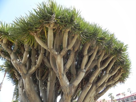 Dragon Tree at the Hotel Del Coronado
