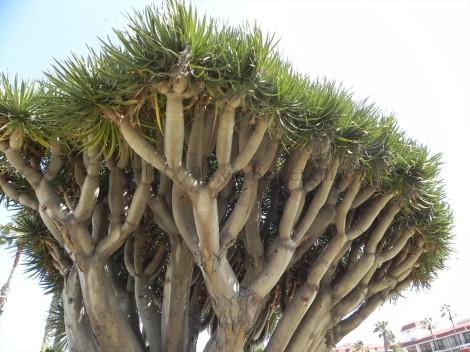 Dragon Tree at the Hotel Del Coronado