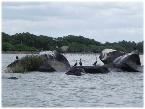 Birds in Lake Nicaragua01