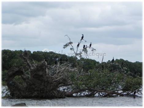 Birds in Lake Nicaragua02