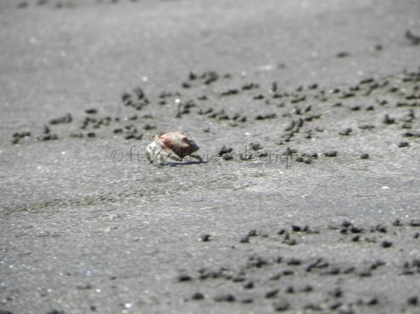 little sand crab on the beach in costa rica