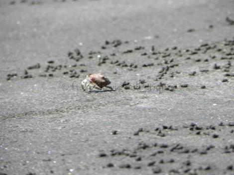 little sand crab in costa rica