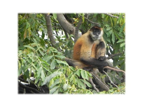 monkey on one of the islands lake nicaragua