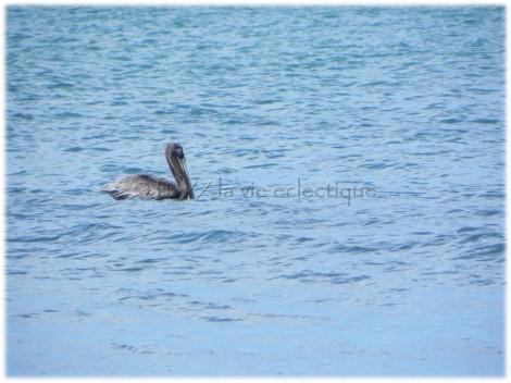 pelican costa rica